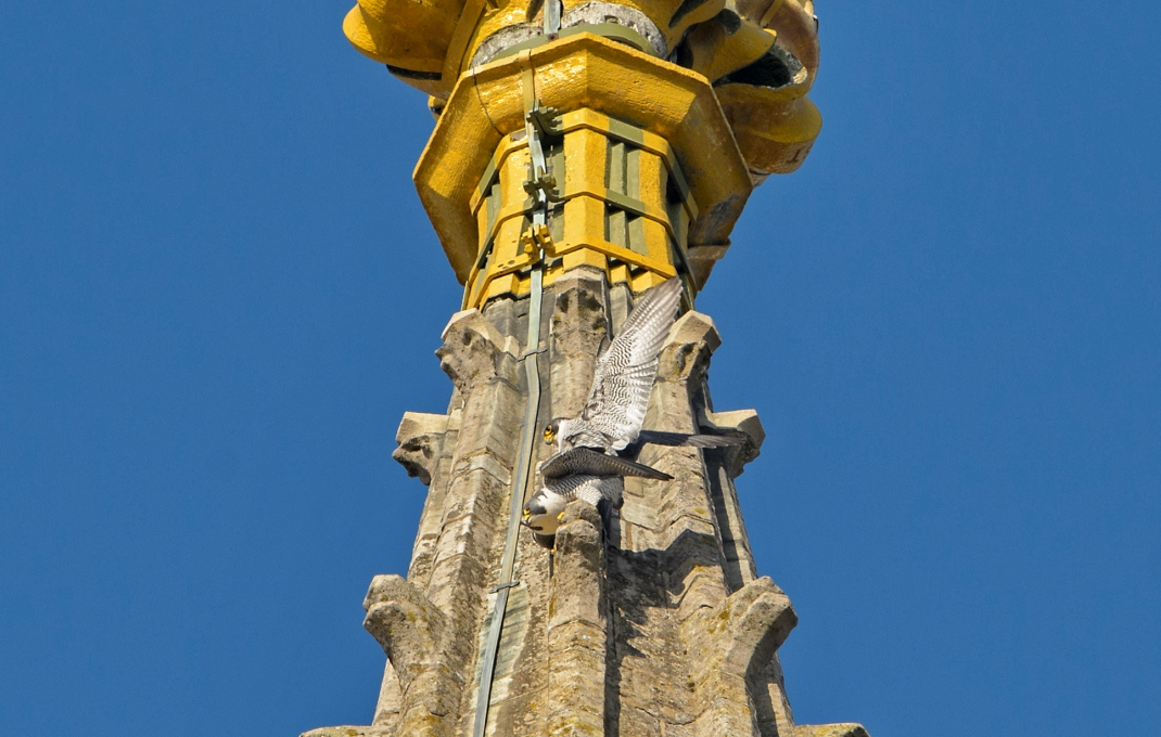 A picture of two falcons mating near the top of the spire